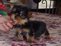 Beautiful Yorkie puppies ready to go to a loving home.