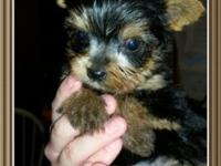 I have 2 lovely Yorkie puppies. They will be very