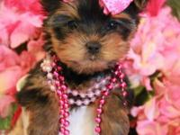 Merely the most cute Teacup & & Toy Yorkshire Terrier