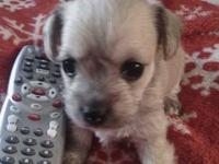 3 tiny precious teacup morkie babies available for