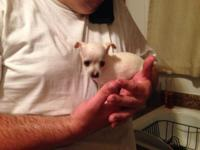 hi I have one male white teacup Chihuahua we own the