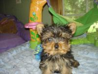 Precious, teacup Yorkie. Parents are registered AKC.