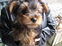 we have one male teacup yorkie that is only 3 pound!!!