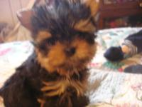 Precious, teacup Yorkie. Moms and dads are signed up