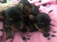 very small teacup yorkies. Three male.mom on site
