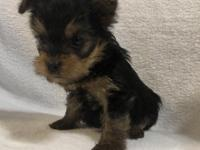 We have three beautiful female Teacup Yorkies they will