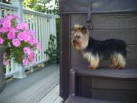 Beautiful Teacup Yorkie for sale. 3 1/2 lbs. Sparky