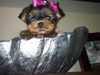 beautiful teacup Yorkies born on Nov. 23 and Tail
