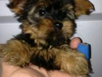 I have a handsome little Black and Tan male yorkie
