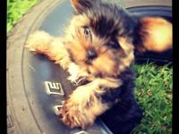 Tiny male Yorkie, super adorable. He is 9 1/2 weeks and