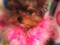 I have a teacup male yorkie weighs 4 lbs, born May 5th