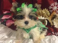 Very tiny Parti Yorkie female Perfect purse baby to tag