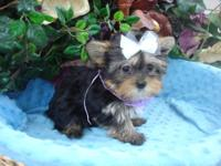 Very tine Yorkie Teacup girl. She is now 3 months old