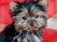 Yorkie teacup for sale mom and dad is very tiny mom is