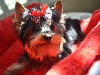 Teacup Yorkie, teddy bear face, he is 5months,