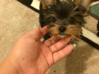 I have 2 males and 1 female Yorkie available. They are