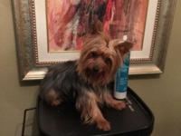 Tiny Teacup yorkie male, Pure Breed, 2 years of ages