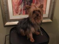 Tiny Teacup yorkie male, 2 years of ages 3.5 pounds.