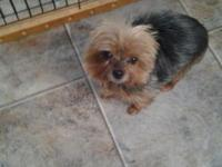 I have a teacup yorkie up for adoption she has all of