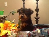 Teacup Yorkie, 8wks, one boy left, tiny under 2lbs,