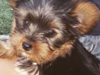 One male teacup yorkie ready for he's new home has