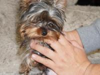 I have the sweetest little 3.5 lb male yorkie he is