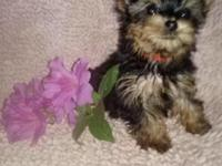 Registered teacup Yorkie female with health guarantee