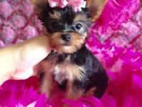 Very Cute females teacup Yorkies up to date in vaccines