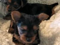 TWO Beautiful black, tan, and silver coat yorkies for