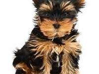Teacup yorkie with papers contact  serious inquires