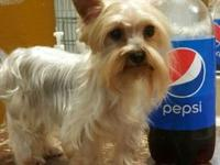 Teacup Yorkie up for adoption she is a beautiful Yorkie