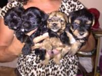Yorkie/poodle male puppy for sale. Parents 4lbs full