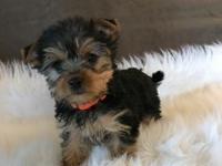 We have 2 adorable male,1 female Yorkshire Terriers