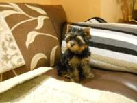 This Teacup Yorkie Boy is adorable! He has a blue and