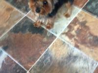 AKC signed up teacup yorkie. Approximately 4 pds. 14
