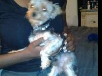 I have a male (Prince) Teacup Yorkie that weighs 4.2