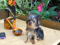 This TEACUP YORKIE GIRL is adorable! She is super