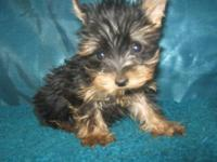 This is BeBe, his a teacup yorkie male 5-months old. He
