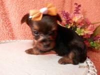 TEACUP YORKIE MALE PUPPY RYDER 1000.00 RYDER IS A TINY