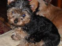 TINY MALE YORKIE PUP 2 1/2 lbs BORN 1-20-15 PARENTS