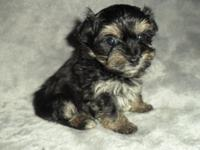 ICA registered Teacup Yorkie poo puppies. 2 girls. Born