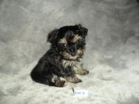 ICA Teacup Female Yorkie poo puppies. 2 girls . Born