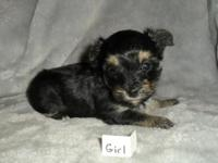 ICA Teacup Yorkie poo puppies. 2 girls and 1 boy.