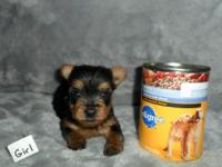 Teacup Yorkie Puppies. Born 2-19-15. They can go home