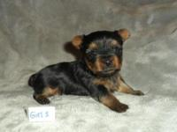 Teacup Yorkie Puppies 2 females and 1 male. ACA