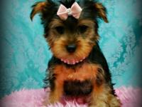 We have a precious litter of teacup yorkie puppies, now