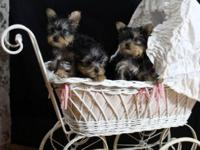 3 Teacup Yorkie puppies, 2 females and 1 male. Born