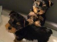 we have very cute teacup Yorkie puppies that we are