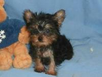 We have Yorkie puppies for sale at this time. They are