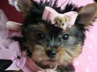 Hi, these are my pure breed AKC Teacup Yorkie puppies